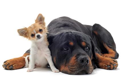 rottweiler et chihuahua